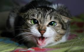 Ada Beberapa Tanda Bawah KUcing Anda Suka Pada Anda